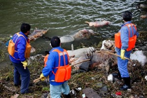 china-shanghai-thousands-of-dead-pigs-floating-in-huangpu-river-01-600x400
